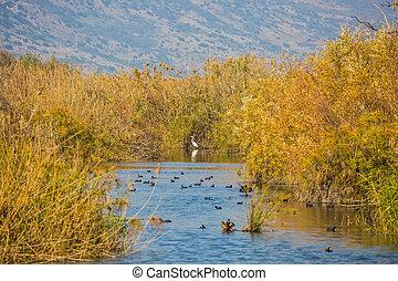 The waterfowl winters at Lake Hula - Hula Nature Reserve,...