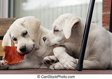 two cute young labrador dog puppies cuddling together on a...