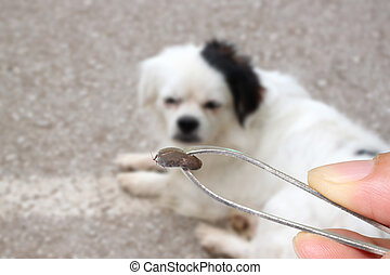 Big Ticks of a dog. - Big Ticks of a dog,tweezers to clamp a...