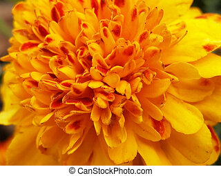 big orange tagetes