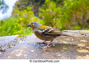 Carduelis chloris, Greenfinch, Madeira Island, Portugal