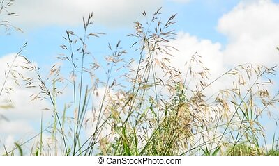 wild oats swaying in wind against the sky - wild oats...