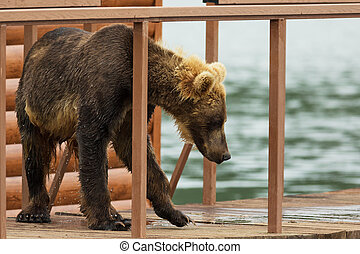 Young brown bear looks prey on fence to account for fish...