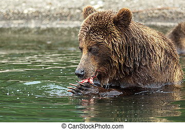 Brown bear eating a salmon caught in the Kurile Lake...
