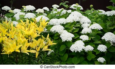 Fragment of garden with white Hortense and yellow lilies -...