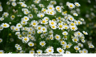 Many daisies growing in meadow, Russia - Many daisies...