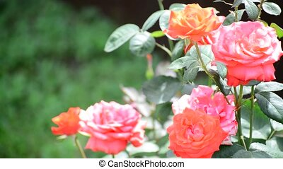 bush pink roses in the flowerbed - A bush pink roses in the...
