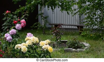 Fragment of garden with roses of different colors - Fragment...