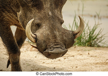 Common warthog tusks - Closeup of common warthog head with...