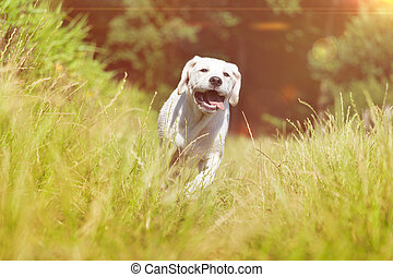 young labrador dog puppy running with funny face grimace