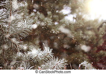 background with snow-covered fir tree branches with falling...