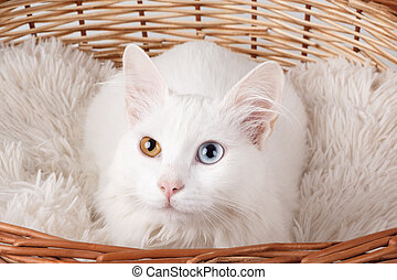 White odd-eyed cat - Studio shot of a white cat with...