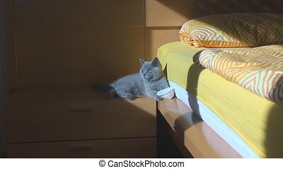 In the room on the nightstand sits a thoroughbred British kitten blue color