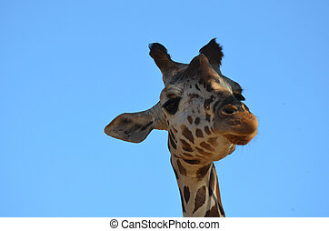 Loveable Face of a Giraffe - A blue sky with the face of a...