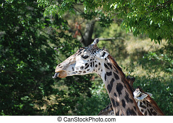 Giraffe with a Curled Up Tongue - Tongue curled up in the...