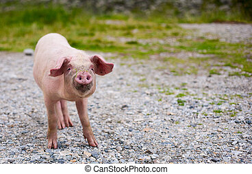 Baby pig - Portrait of a baby pig with a funny expression,...