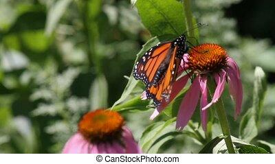 monarca, mariposa, cono, flor