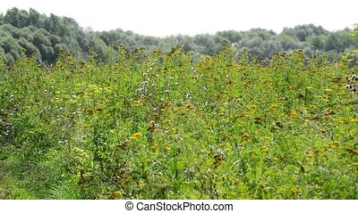 Beautiful meadow with tansy, Russia - Beautiful meadow with...