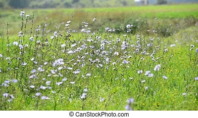 Chicory growing in meadow, Russia - Chicory growing in the...