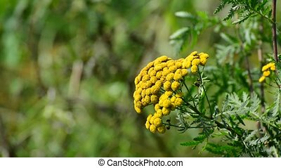 yellow inflorescence tansy close up - yellow inflorescence...