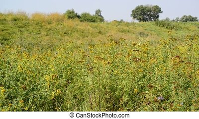 meadow with tansy, Russia - Beautiful meadow with a tansy,...