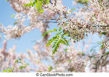 Cassia bakeriana tree with pink flowers, also called...