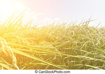 Rural scenery of paddy - Rural scenery with golden paddy...