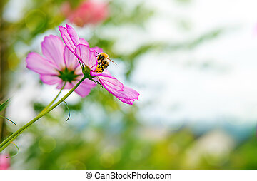 Bee on Cosmea flowers - Pink cosmea flower with a bee on it...