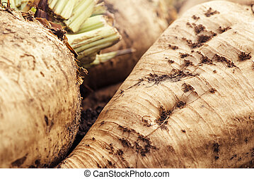 Harvested sugar beet crop root pile on the ground, selective...