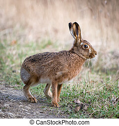 Hare - Lepus - Hares and jackrabbits are leporids belonging...
