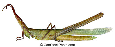 Snouted Grasshopper on white Background - Acrida ungarica...