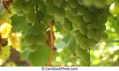 Bunch of white grapes - Bunch of grapes on a background of...