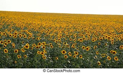 View of sunflower field