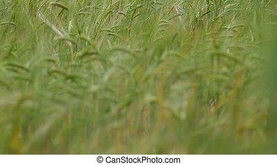 ears of ripe wheat in a field