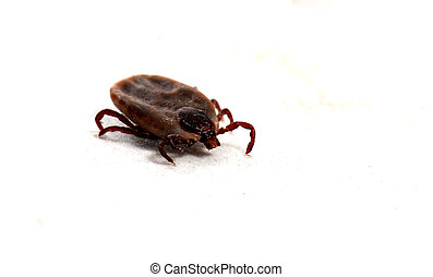 tick - close up of dog tick on a white background