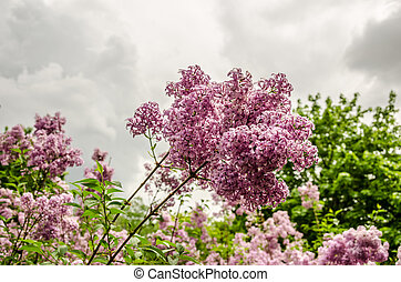 Pinkish Lilacs in Bloom - Pinkish purple lilacs with fresh,...