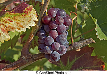 ripe blue grapes and colorful wine leaves in the late autumn