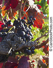 ripe blue grapes in the late autumn