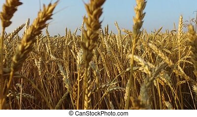 Dense wheat field. Wheat is ripe. It's time gather the...