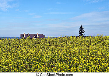Field of flowering rapeseed - Golden field of flowering...