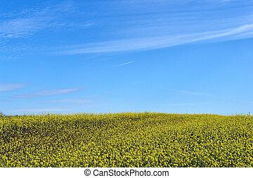 Field of flowering rapeseed - Golden field of flowering...