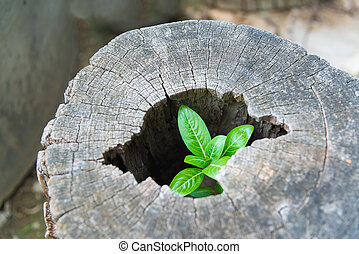 Strong trees grow up in the hollow of a tree stump. - Little...