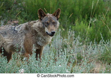 Canis Lupus Signatus watching - Whole wet Canis Lupus...