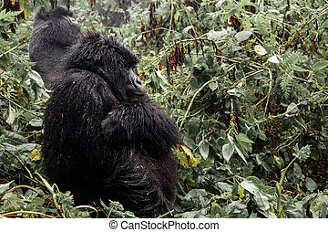 Female mountain gorilla standing in the forest - Profile of...