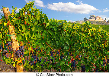 vineyard grapes in summer, with blue sky