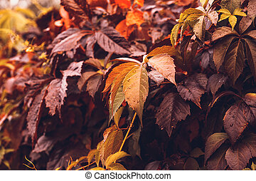 Autumn Virginia Creeper - Colorful Autumn Virginia Creeper,...