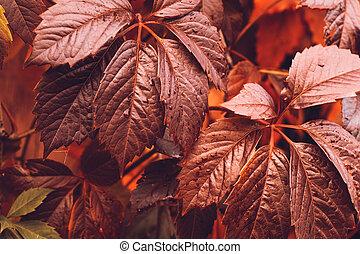 Autumn Virginia Creeper - Close up of Autumn Virginia...