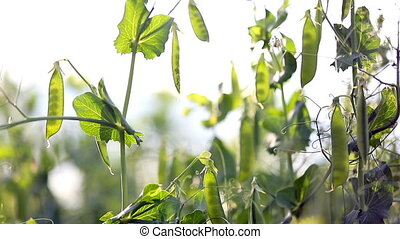 Peas in the sun. The pods of peas. Field Peas morning....