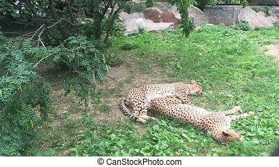 Two Amur leopard resting in the shade on the grass.