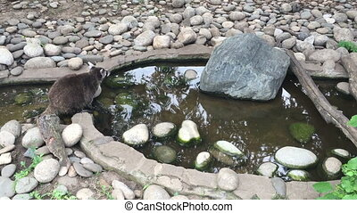 Raccoon sits near the water. - Raccoon sits near the water
